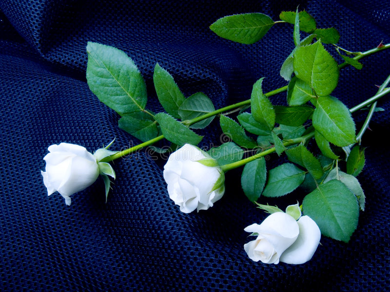 Roses blanches photographie stock