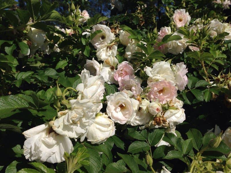 Roses blanches photo libre de droits