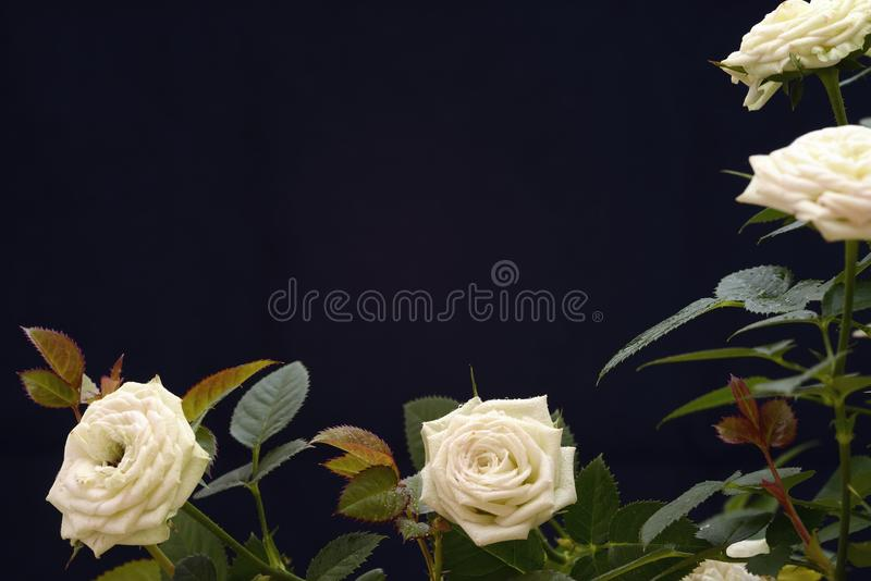 Download Roses blanches image stock. Image du orientation, lame - 45360427