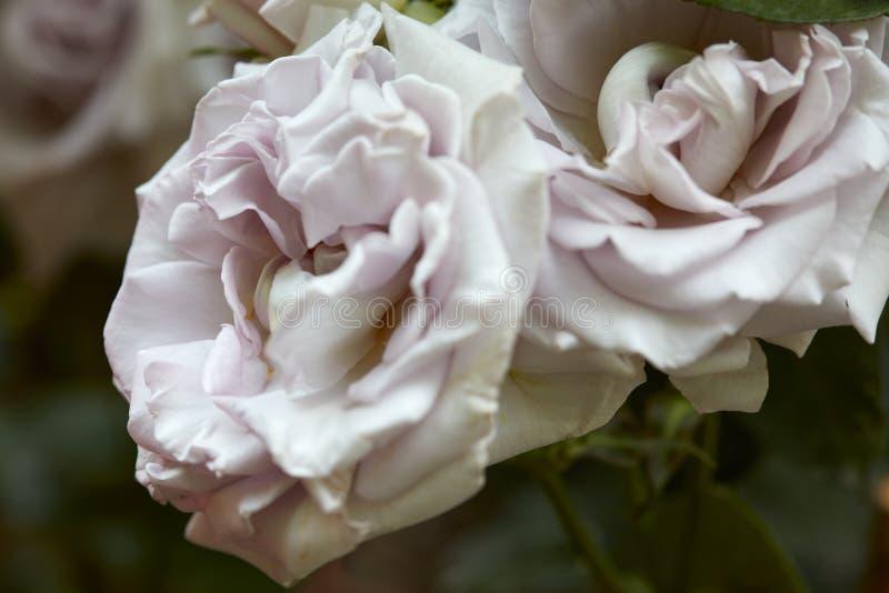 Roses blanches antiques macro dans le jardin photo stock