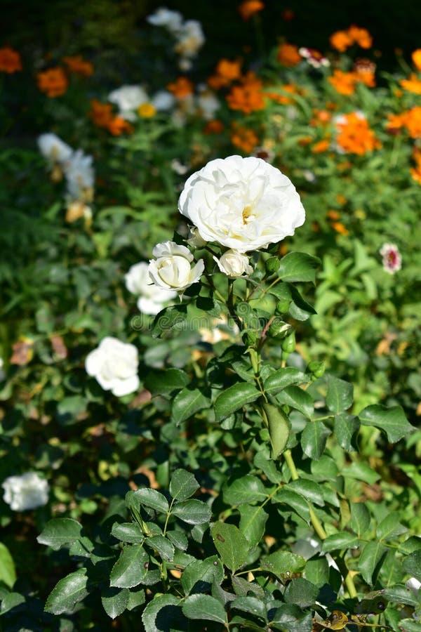 Roses blanches avec les fleurs oranges dans le jardin urbain image libre de droits