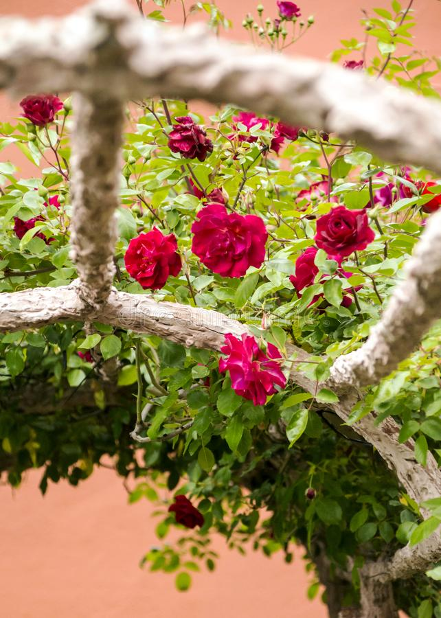 Roses on blurred background. royalty free stock images