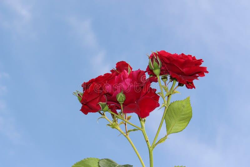 Roses bulgares maya rouges dans la perspective du ciel bleu photo stock