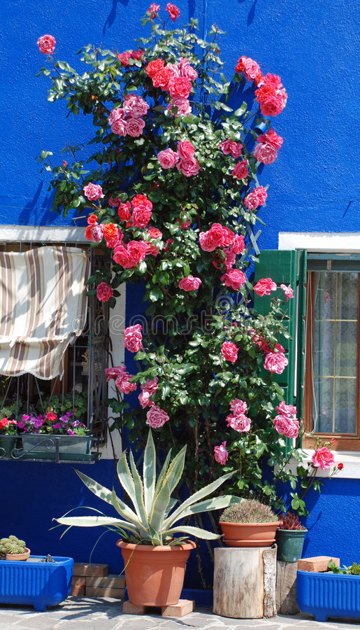 Roses on Burano royalty free stock photo