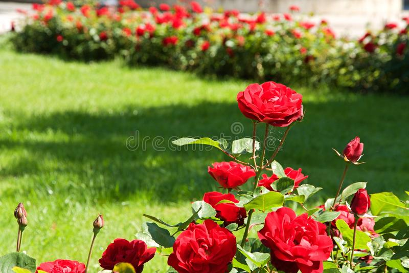 Download Roses bush stock image. Image of background, color, plant - 40997411