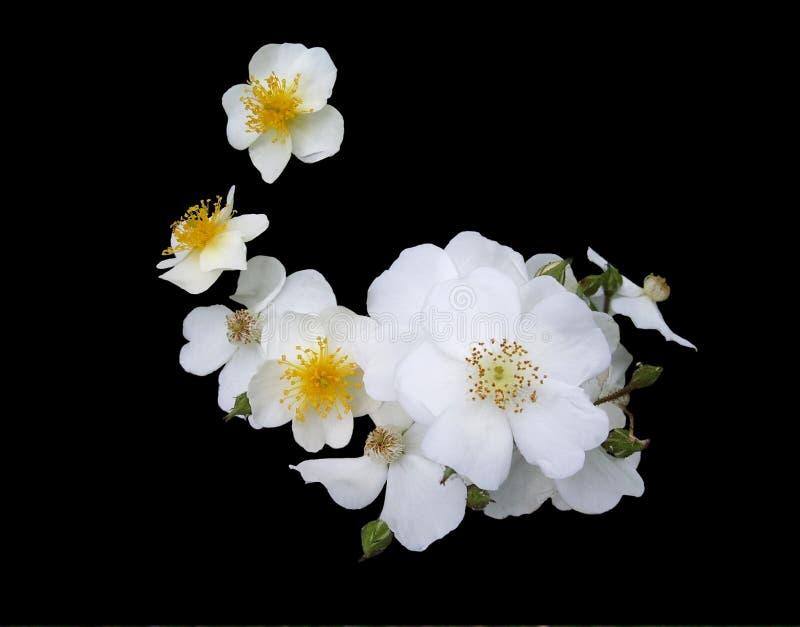 roses cherokee blanches photo libre de droits
