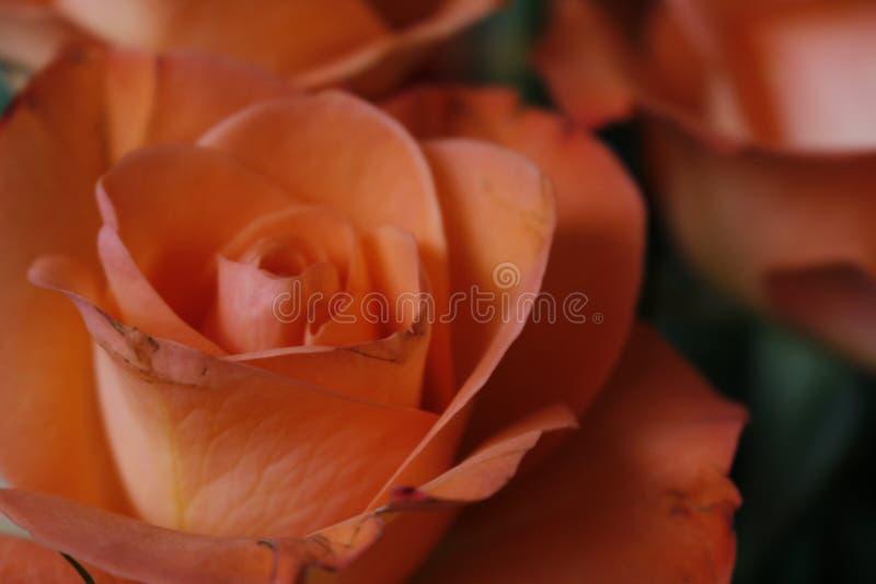 Roses close up stock photos