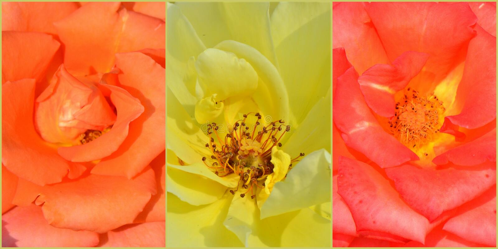 Roses collage stock photo