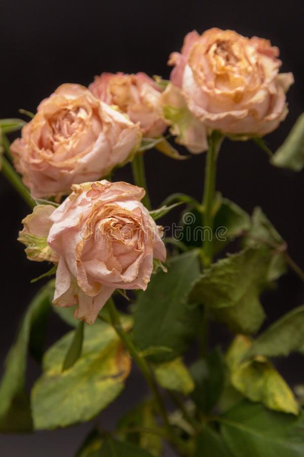 Roses défraîchies sur un fond foncé photos stock