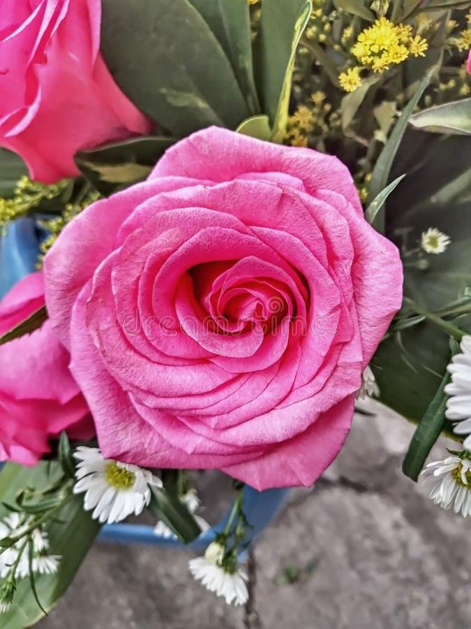 Roses d'équateur images libres de droits