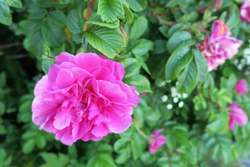 Download Roses D'Apple Dans La Fleur Dans Le Hitra D'île (Norvège) Photo stock - Image du centrale, flore: 76078760