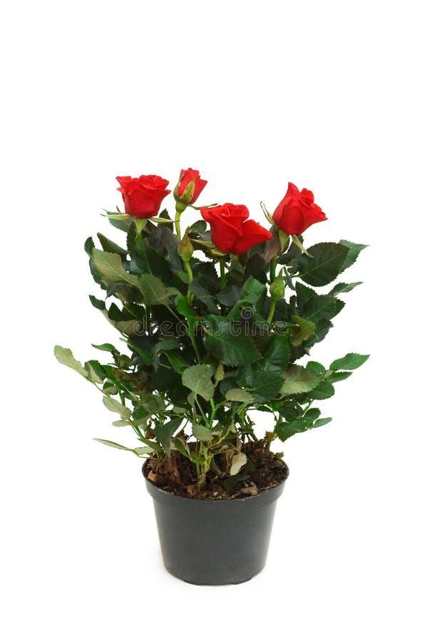 roses d'isolement de rouge de bac photographie stock