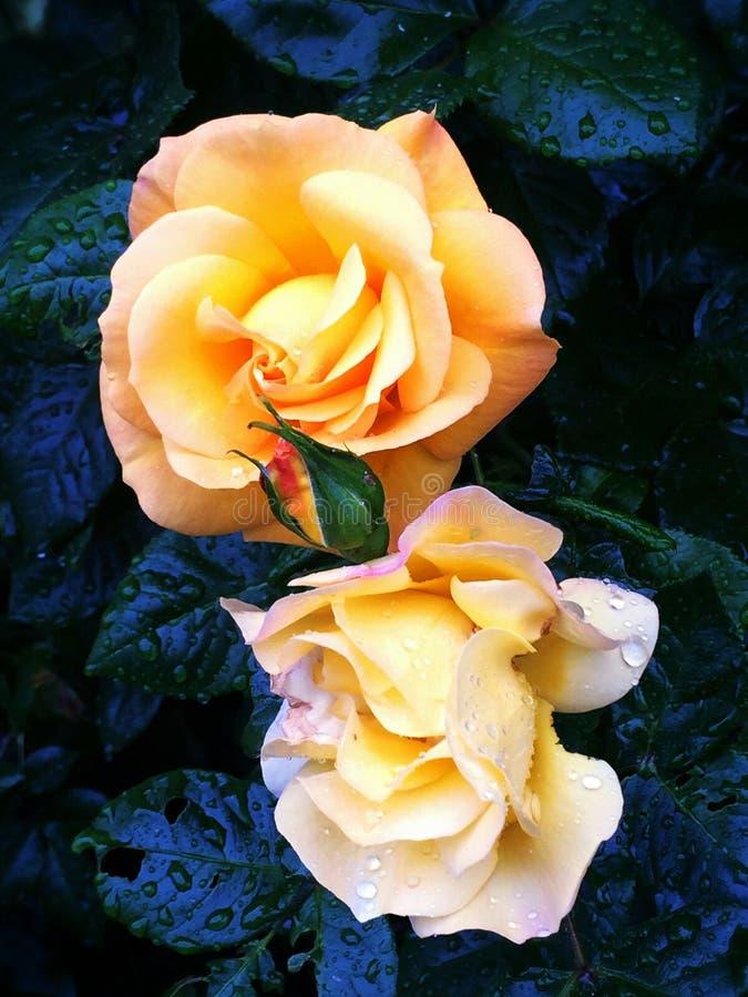 Roses dans l'obscurité image stock