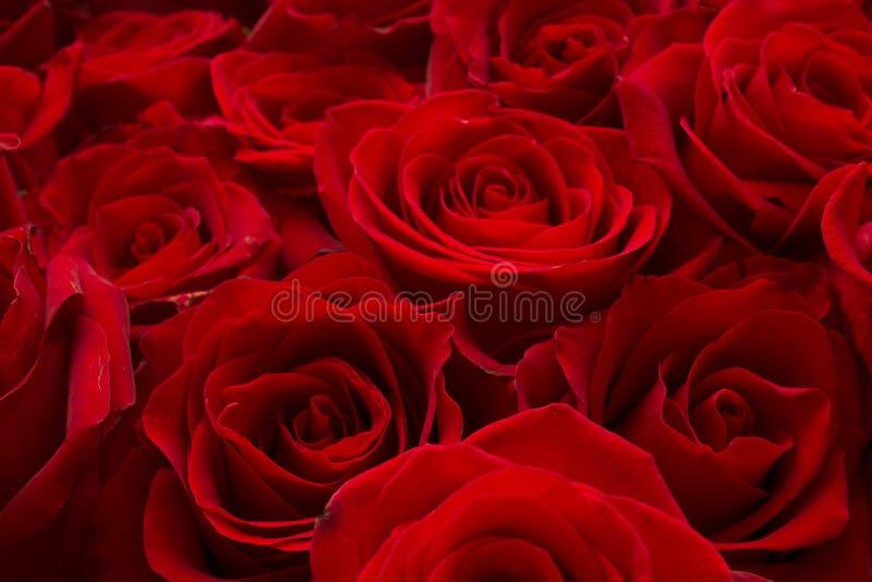 Roses dans le bouquet photographie stock