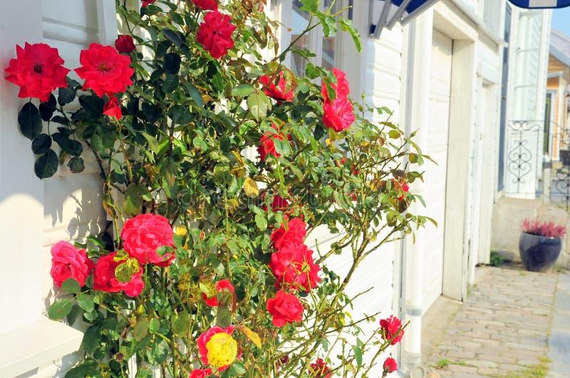 Roses dans les rues de Kristiansand, Norvège photo libre de droits