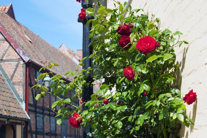 Roses dans les rues de Ystad photographie stock