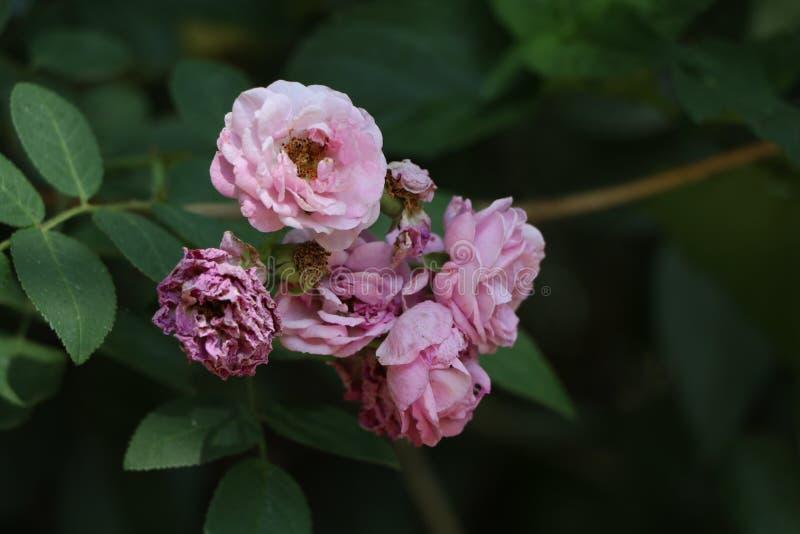 Roses de chéri roses photo libre de droits