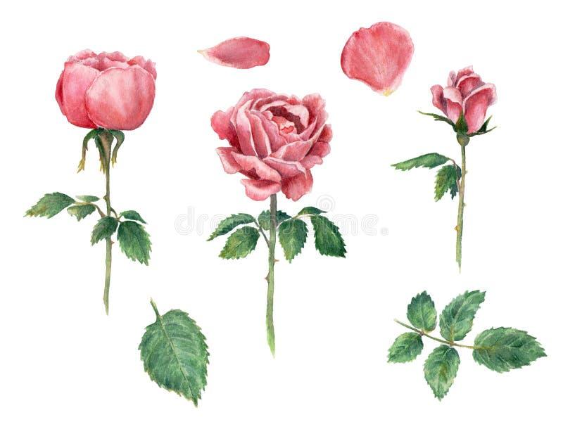 Roses roses de clipart (images graphiques) d'aquarelle, fleurissant image stock