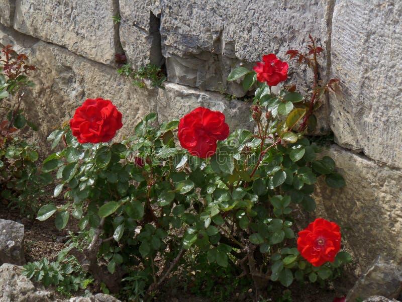 Roses de floraison de rouge vibrant au mur de La Citadelle de Dinant, Belgique images libres de droits