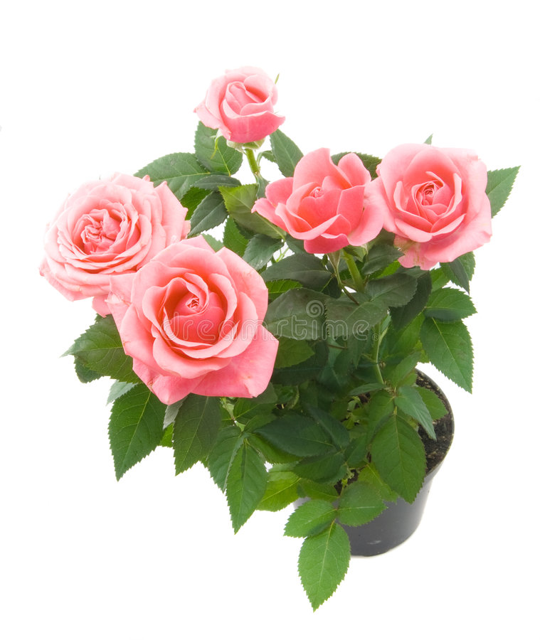 roses de groupe image stock