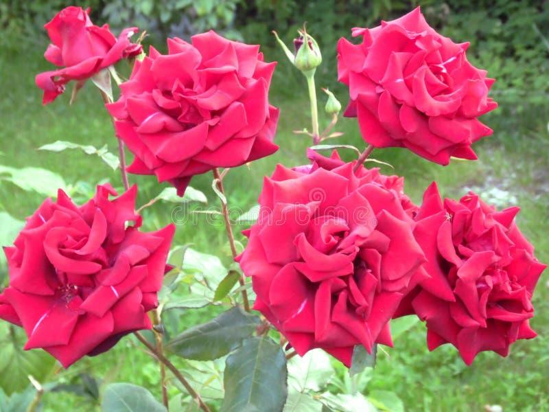 Roses de jardin photos libres de droits