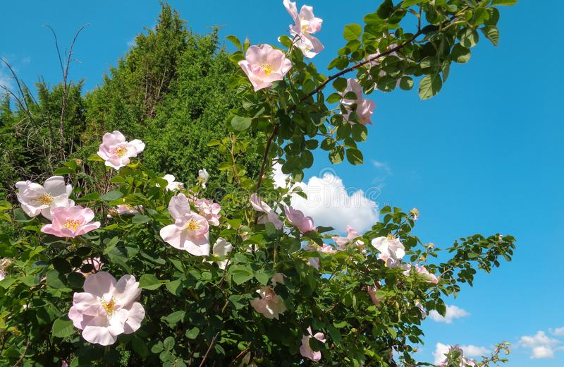 Roses de jardin - jardin d'Eutopia - Arad, Roumanie photos libres de droits