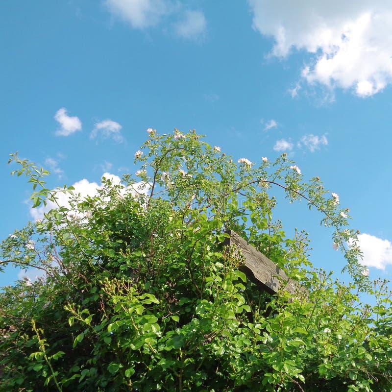 Roses de jardin - jardin d'Eutopia - Arad, Roumanie photos stock