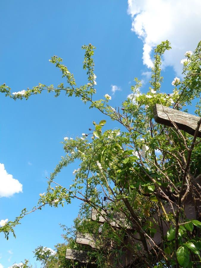 Roses de jardin - jardin d'Eutopia - Arad, Roumanie image libre de droits