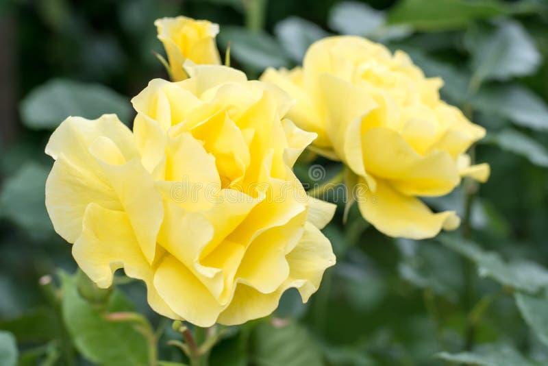 Roses de jardin de différentes couleurs photos libres de droits