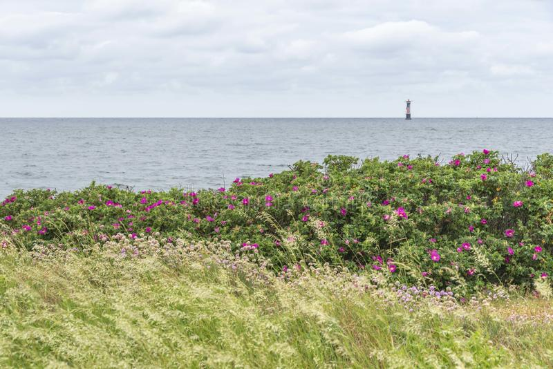 Roses de plage chez Viken en Suède photo libre de droits