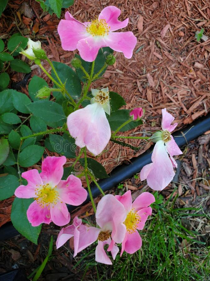 Roses de rose sauvage image libre de droits