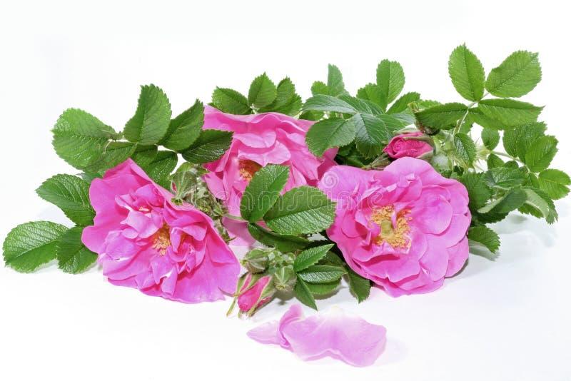 Roses de Rugosa image libre de droits
