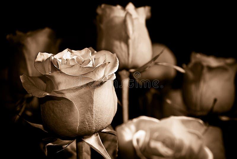 Roses de sépia image stock