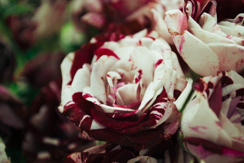 Roses de tigre photo stock