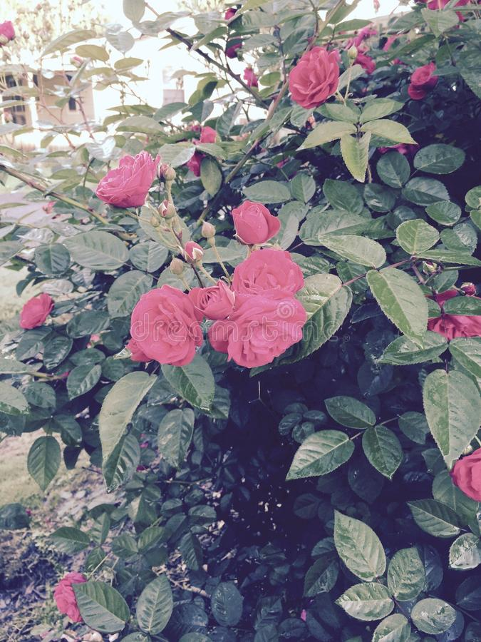 Roses de vintage photos stock