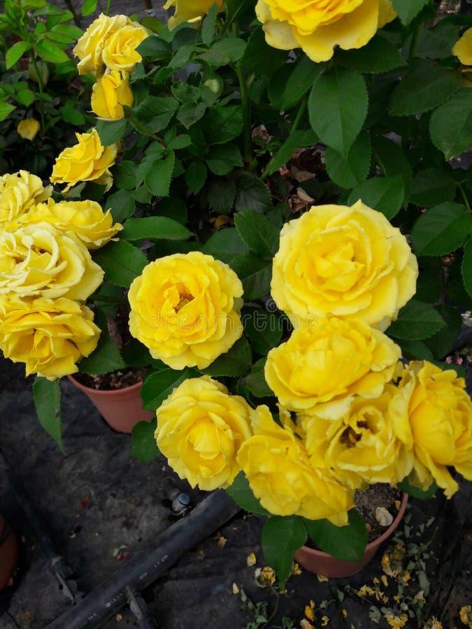Roses de Yelow photo stock