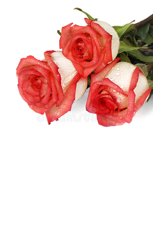 Roses with dew drops stock images