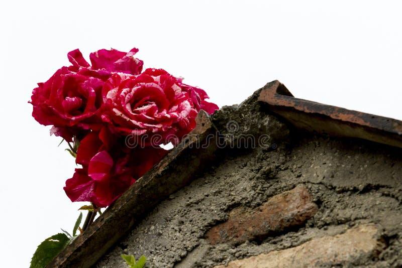 Roses douces rouges sur le dessus de toit rugueux et en pierre La Géorgie, Tbilisi photographie stock