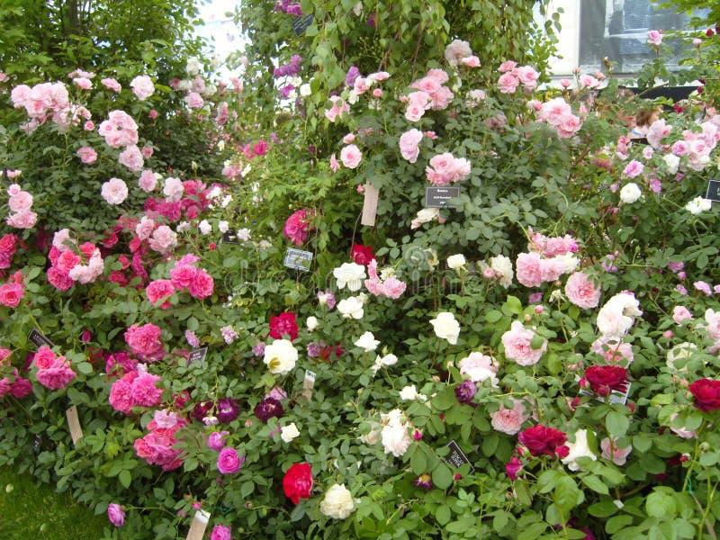 Roses en abondance image stock