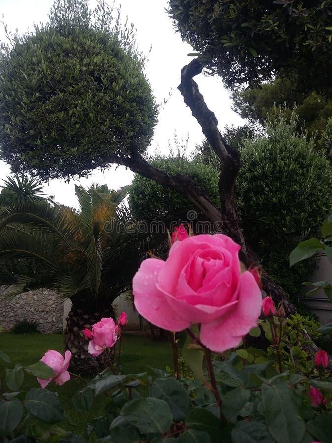 Roses et arbre roses photos libres de droits