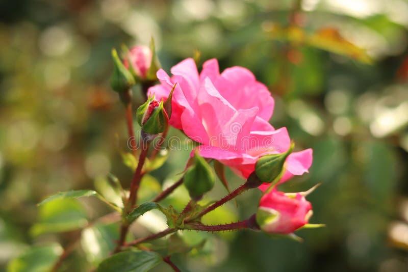 Roses et bourgeons roses avec le fond brouillé Fleur de rose sauvage, macro photographie stock