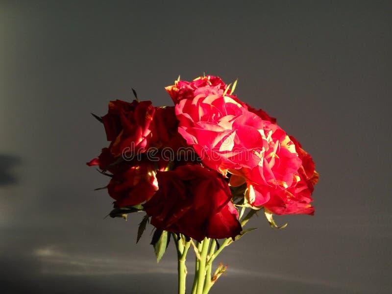 Roses et coucher du soleil image libre de droits
