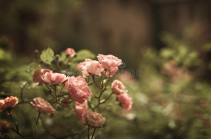 Roses in evening light royalty free stock photo