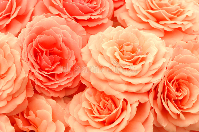 Roses exquises image libre de droits