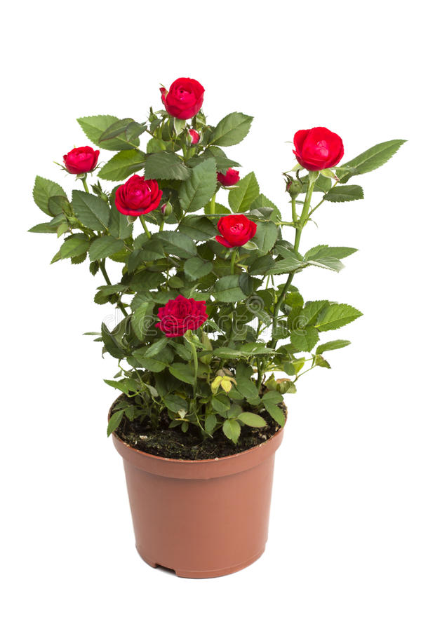 Roses in a flower pot stock image