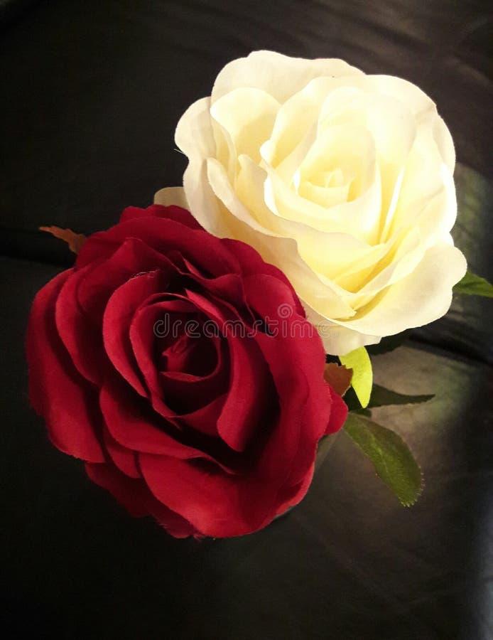 Roses flowers stock photos