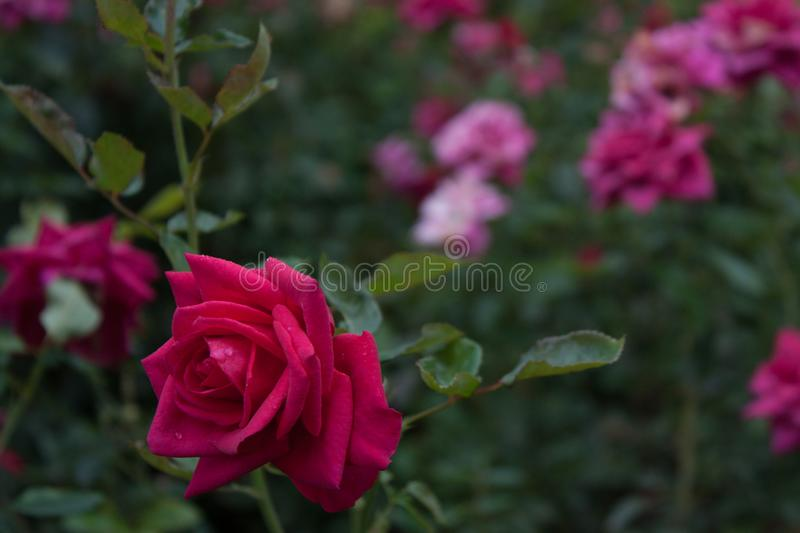 Roses and flowers. Pretty roses in the castle garden in Málaga. Its flowers in their natural state are usually pink, although we already know that the best royalty free stock photography