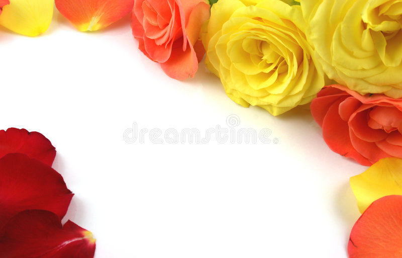 Roses forming a frame. Flowers Isolated on white - Ideal Border or Background stock image