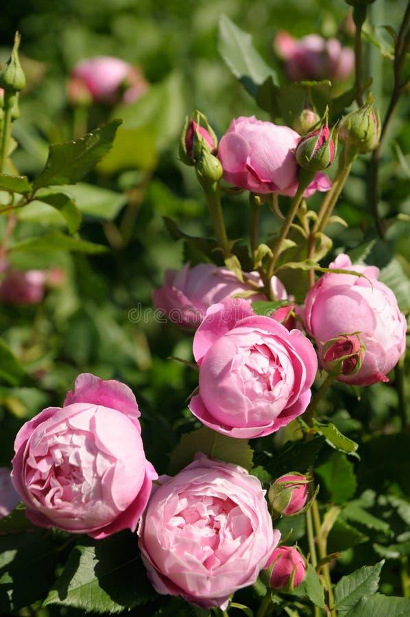 Roses in garden royalty free stock photos