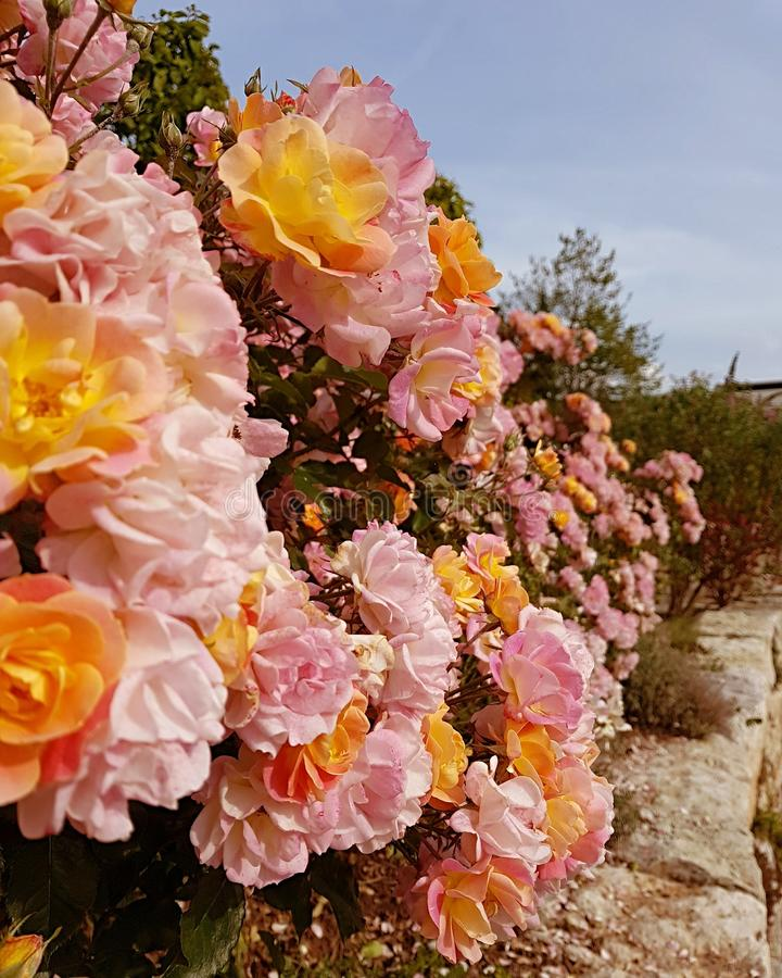 Roses in the garden front royalty free stock photo